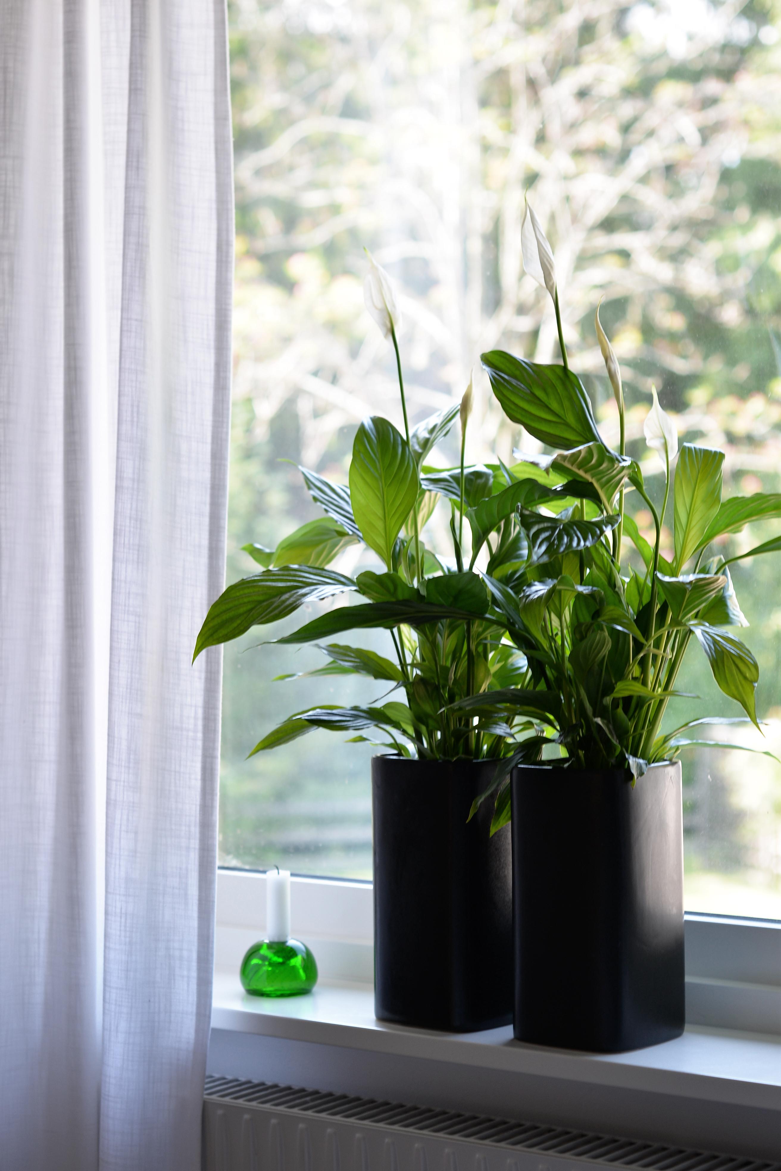 Fredslilja, fredskalla, luftrenande växt, grön växt, lättskött växt
